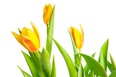 Spring yellow Tulips flower colorful is isolated on white Royalty Free Stock Image