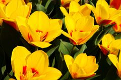 Spring yellow tulips Stock Photography
