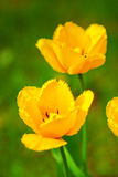 Spring yellow  tulips. Royalty Free Stock Images