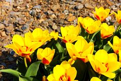 Spring yellow tulips Royalty Free Stock Images
