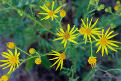 Spring yellow wild flowers. And green foliage background Royalty Free Stock Photography