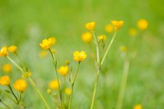 Spring yellow wildflowers, goldilocks Royalty Free Stock Photography