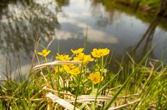 Spring yellow wildflowers on lakes royalty free stock photography