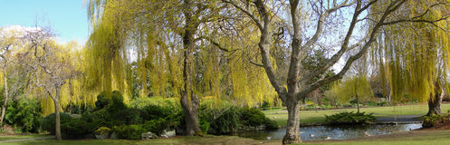 Spring, yellow willows Stock Image