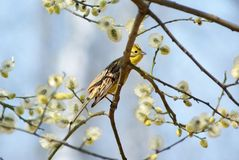 Spring yellowhammer. Yellowhammer (Emberiza citronella) on pussy willow tree Stock Photography