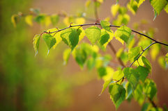Spring. the young birch branch. Branch of fresh birch leaves illuminated by the sun Royalty Free Stock Photo