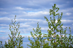 Spring. young birches. Young birch-trees on the background of the bright sky Stock Images