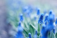 Spring young blue flowers Royalty Free Stock Photography