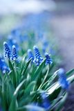 Spring young blue flowers Royalty Free Stock Image