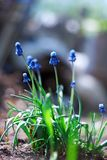 Spring young blue flowers Royalty Free Stock Photos