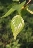 Spring. Young glutinous poplar leaf Stock Images