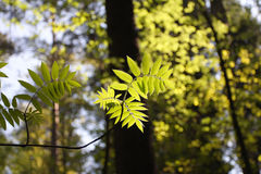Spring, young green leaves Stock Images