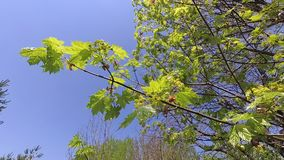 Spring. young green leaves of maple in the wind. stock video footage