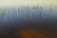 Spring young green reeds shoreline at sunset light. Nature lake water sandy bottom shoreline Royalty Free Stock Image