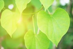 Bo leaf leaves.on sunlight background royalty free stock image