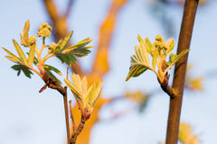 Spring young leaves of rowan in the sunset Royalty Free Stock Photos