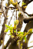 Spring. The young leaves on the tree Stock Photography