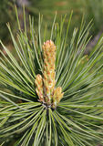 Spring. Young shoot of pine-tree Royalty Free Stock Photo