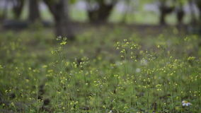 Spring Youngia swaying. stock footage