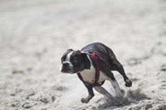Springa Boston Terrier Arkivfoto