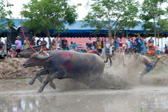 Springa för buffel Arkivfoton