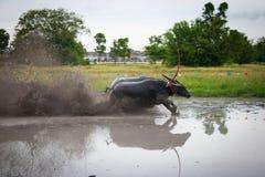 Springa för buffel Royaltyfria Bilder