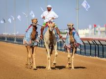 Springa för kamel i Dubai Fotografering för Bildbyråer