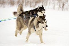 Springa för slädehund Arkivfoton