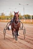 Springa för travaaveln för hästar Royaltyfri Fotografi