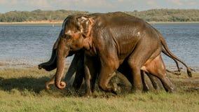 Springa omkring i vilt tillstånd elefanter Arkivfoto