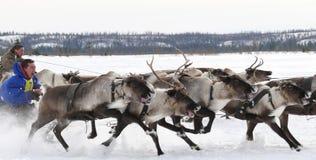 Springa på hjortar under ferie av renen. Arkivfoton