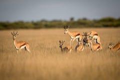Springböcke, die im zentralen Kalahari pronking sind Lizenzfreie Stockfotos