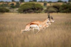 Springböcke, die im zentralen Kalahari pronking sind Stockfotografie
