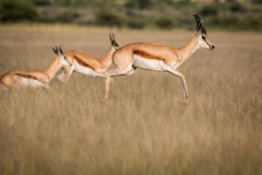Springböcke, die im zentralen Kalahari pronking sind Stockbild