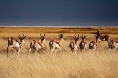 Springböcke im Etosha Park Lizenzfreies Stockfoto