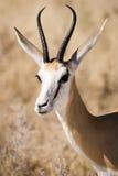 Springbock Stockfoto