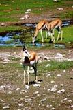 Springbock africano dell'antilope Fotografia Stock