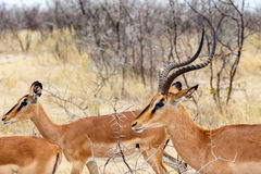 Springbock Antidorcas Marsupialis Stockbild