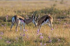 Springbock-Antilopen-RAMs Stockfotografie