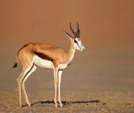 Springbock auf sandigen Wüstenebenen Stockfotos