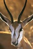 Springbock - Damaraland - Namibia lizenzfreie stockfotos