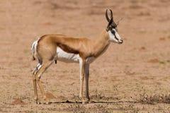 Springbock, der auf einer Sandebene im Kalahari steht Lizenzfreie Stockbilder