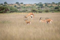 Springbock, der im zentralen Kalahari pronking ist Lizenzfreie Stockbilder