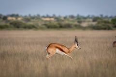 Springbock, der im zentralen Kalahari pronking ist Stockfotografie