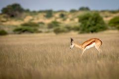Springbock, der im zentralen Kalahari pronking ist Lizenzfreie Stockfotografie