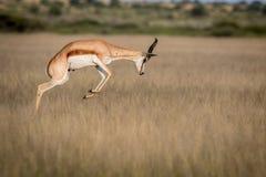 Springbock, der im zentralen Kalahari pronking ist Lizenzfreies Stockfoto