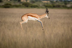 Springbock, der im zentralen Kalahari pronking ist Stockfotos