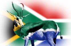 Springbock die in Zuidafrikaanse Vlag wordt verpakt Royalty-vrije Stock Afbeelding