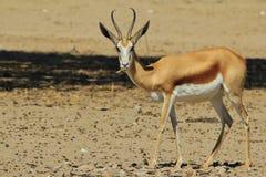 Springbock - djurlivbakgrund från Afrika - som tuggar för liv Royaltyfri Bild