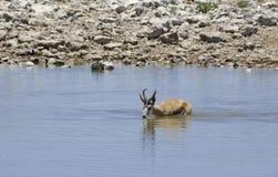 Springbock drinking. At waterhole in Etosha Pan Royalty Free Stock Image
